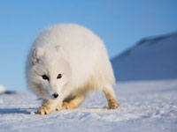 The Arctic Fox. Photo: Asgeir Helgestad/Artic Light AS/visitnorway.com