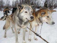 What's the best time to go dog sledding in Sweden, Finland and Norway.