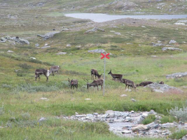 Reindeer can often be seen in the Swedish mountains at this time of year.