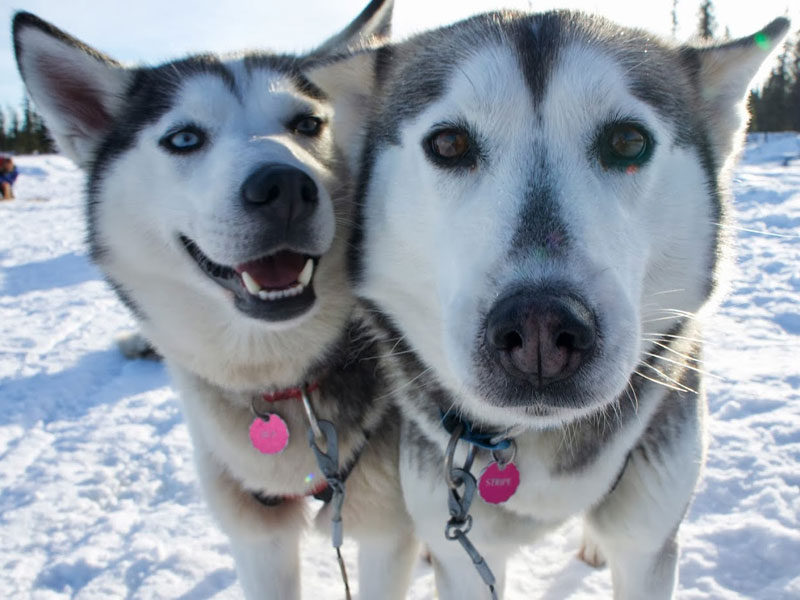 Top 20 Husky Pictures. Photo: Emily Saumarez.