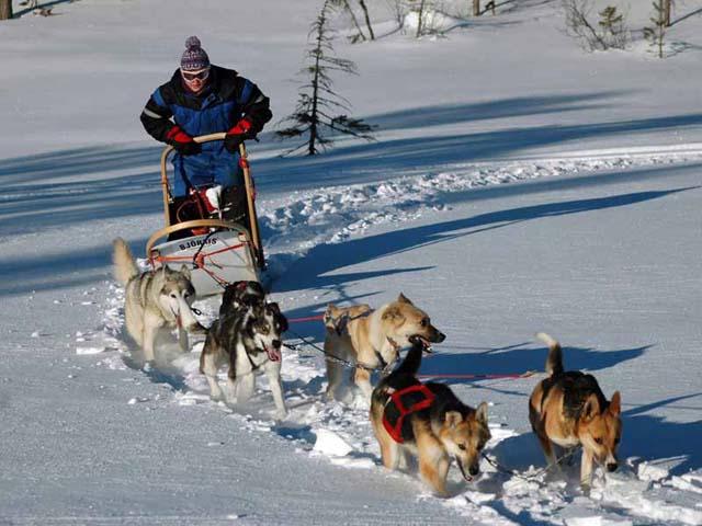 Go Dog Sledding in Trondelag.