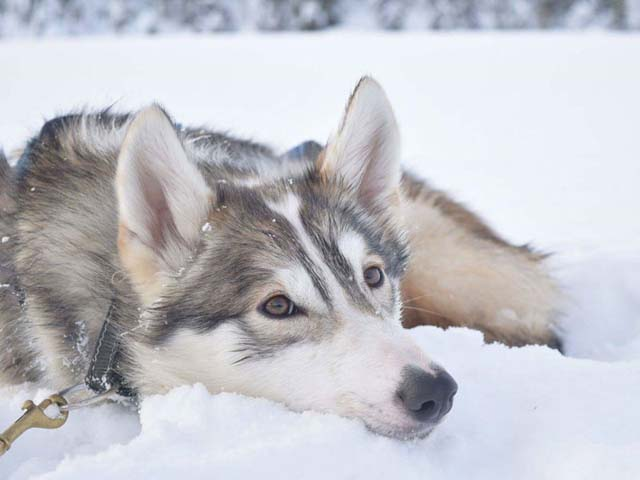 Most guests fall completely in love with their husky teams by the end of the trip. How could you not?