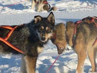 It's the dogs themselves that make dog sledding such a wonderful experience.