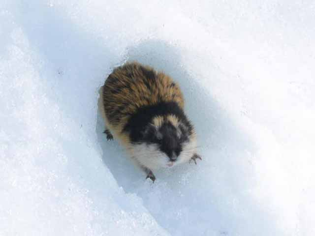 Lemming in the snow.