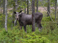 The moose in Sweden - King of the Forest. Photo: Heather Green.