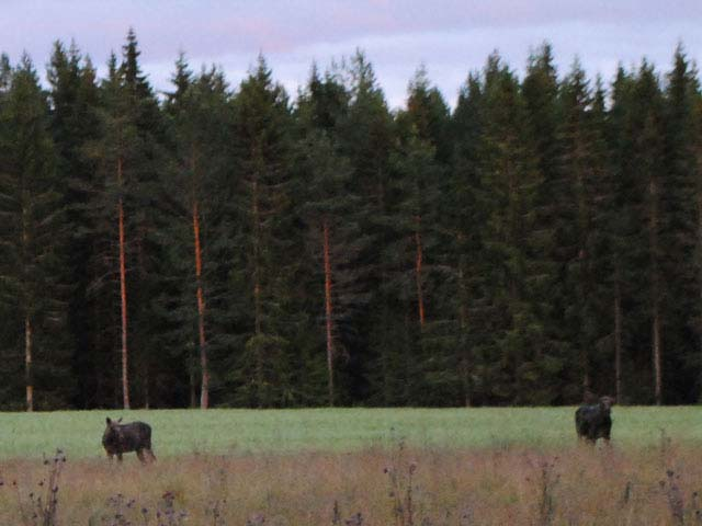 Moose! Photo: Eleanor Parker.