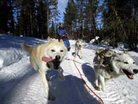 A Week of Dog Sledding in Swedish Lapland.