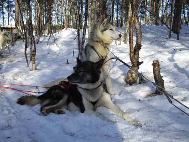 The huskies are the stars of any dogsled tour.