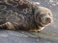 Saimaa Ringed Seal.