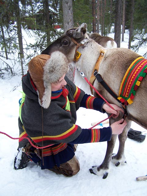 The reindeer are central to Sámi culture.