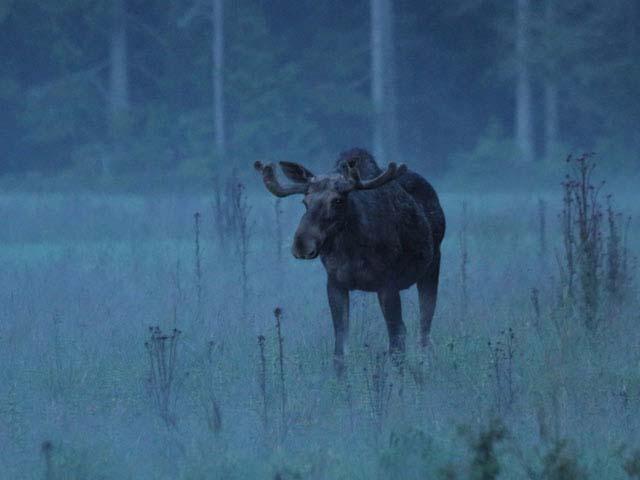 Moose and Beaver Safari plus Wolf Howling Tour. Photo: Jan Nordtsröm.