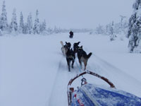 Fresh Tracks - Dog Sledding in Western Lapland. Photo: Nature Travels.