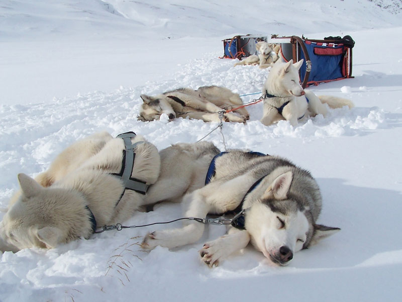 Huskies love to pull, but they are also experts taking it easy! Photo: Nature Travels.