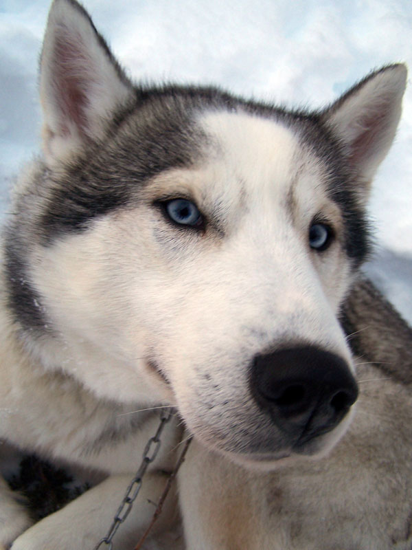 As with any dogsled tour, the beautiful huskies are the stars of the show. Photo: Nature Travels.