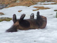The wolverine's paws are well-adapted for running in snow. Photo: Nature Travels.