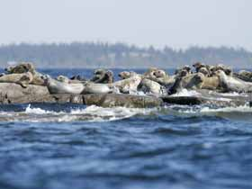 Grey Seals in Sweden