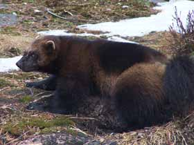 Wolverines in Sweden