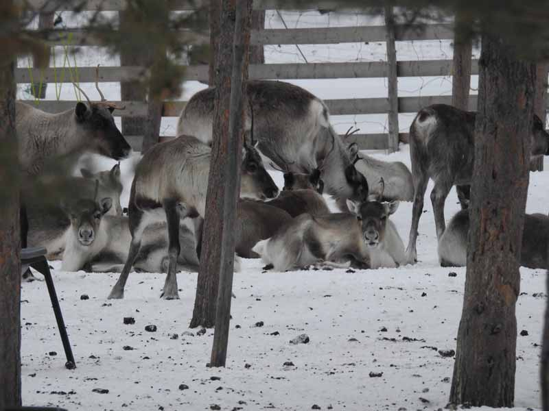 Reindeer at the corral