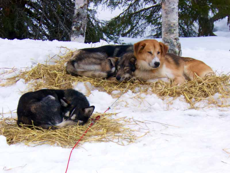 When the day's sledding is over, it's time to take care of the dogs
